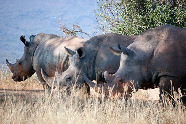 1,215 rhinos fell victim to poaching in 2014. Photo: DEKRA